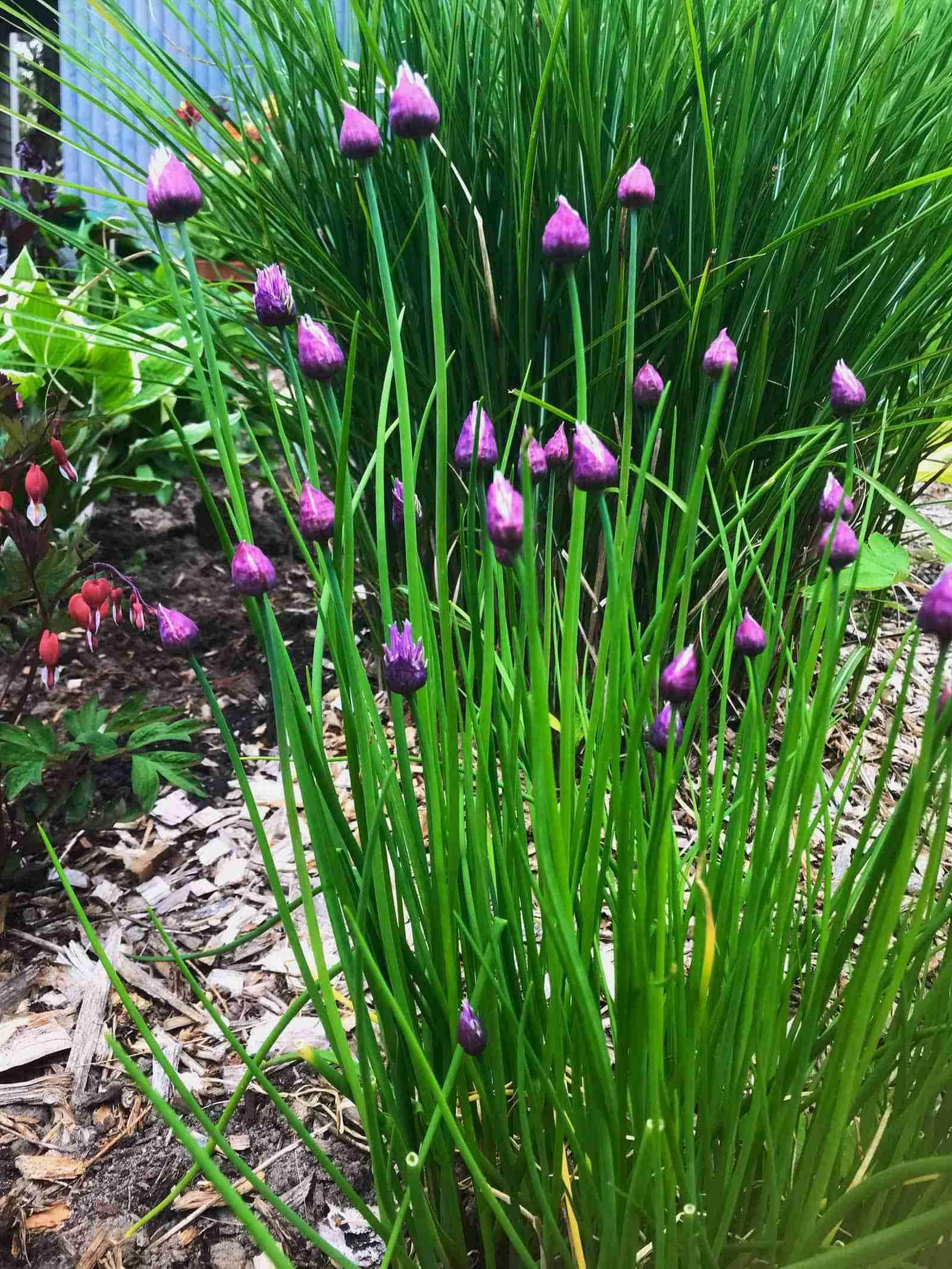 Cape Cod Garden Walk - Gardens Chives_resize