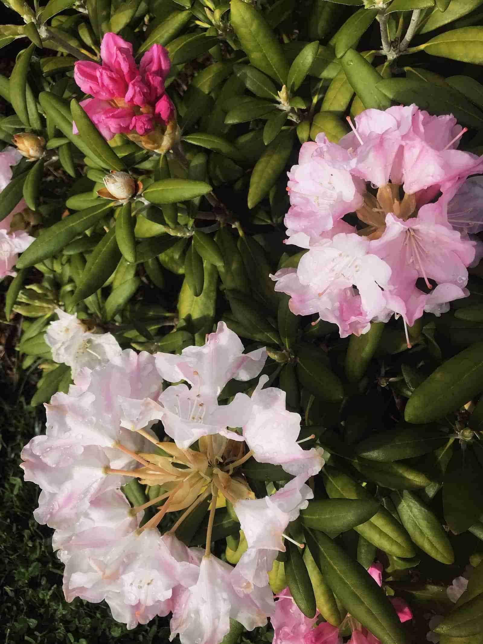 Cape Cod Garden Walk - Gardens Rhododendron_resize