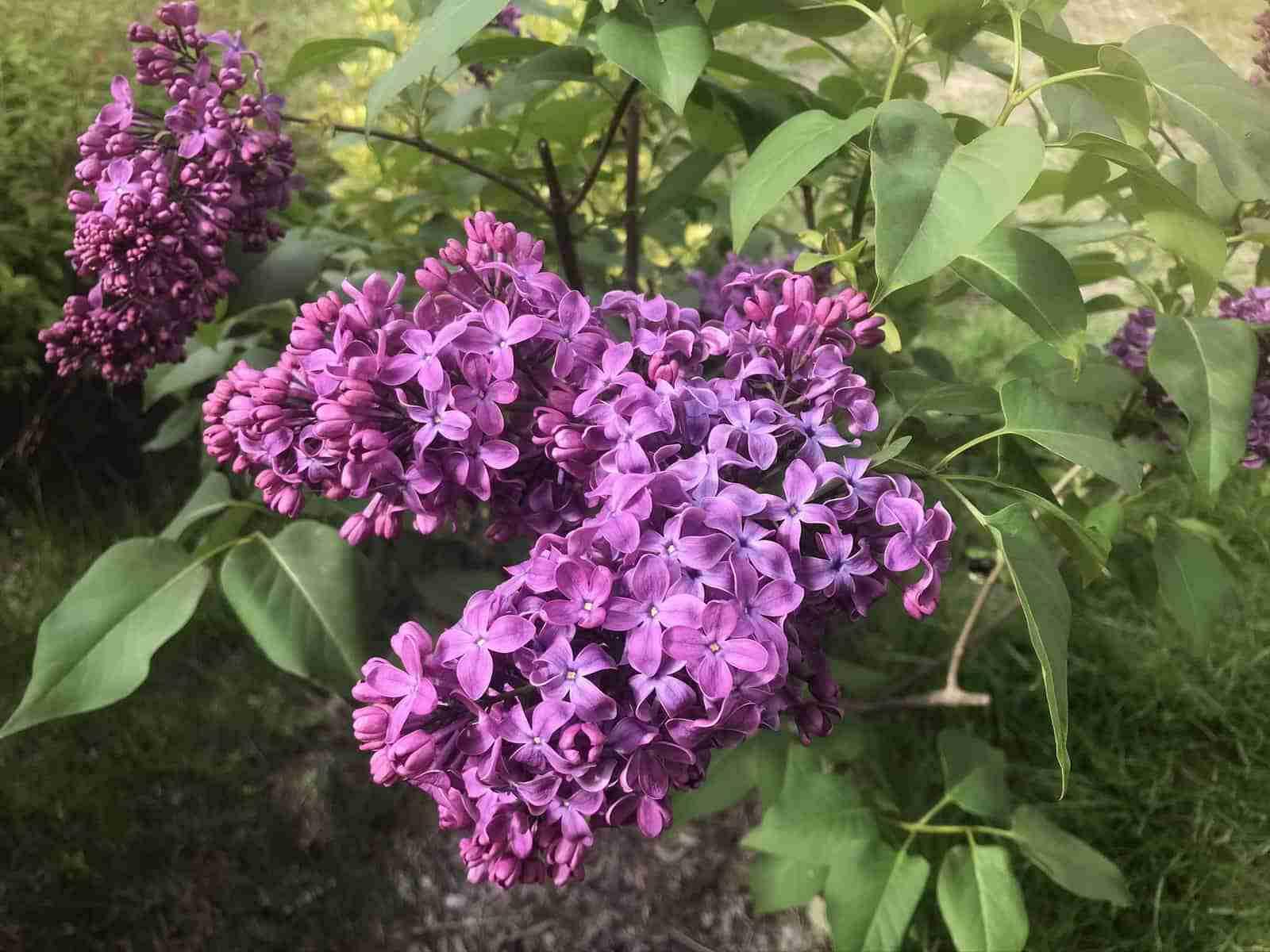 Cape Cod Gardens Spring 2020 Lilac 3
